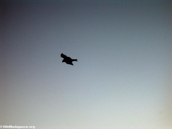 Pied crow at sunrise (Isalo)