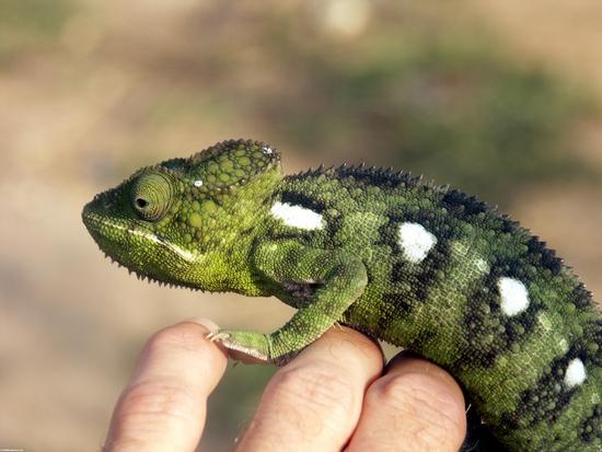 Green Furcifer oustaleti chameleon (Isalo)