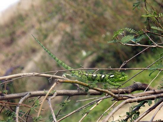 Bright green Furcifer oustaleti chameleon (Isalo)
