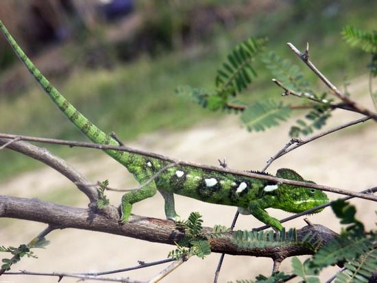 зеленый furcifer oustaleti хамелеона возле isalo