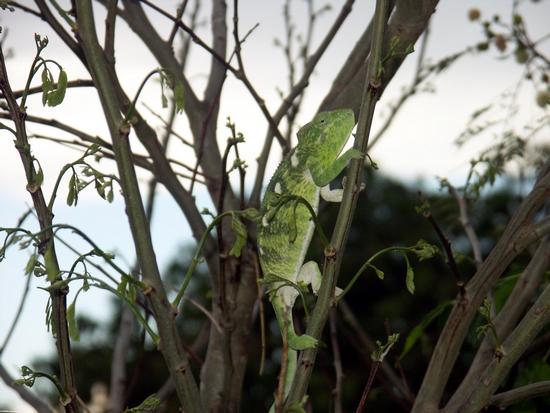 Green Furcifer oustaleti near Isalo (Isalo)