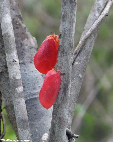 Adult Phromnia rosea (Isalo)