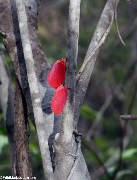 Phromnia rosea (adult)(Isalo)