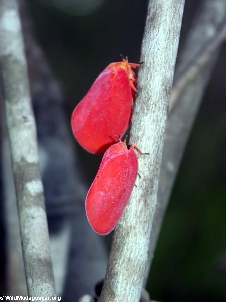 Flatid leaf bugs (Phromnia rosea) in Isalo, Madagascar