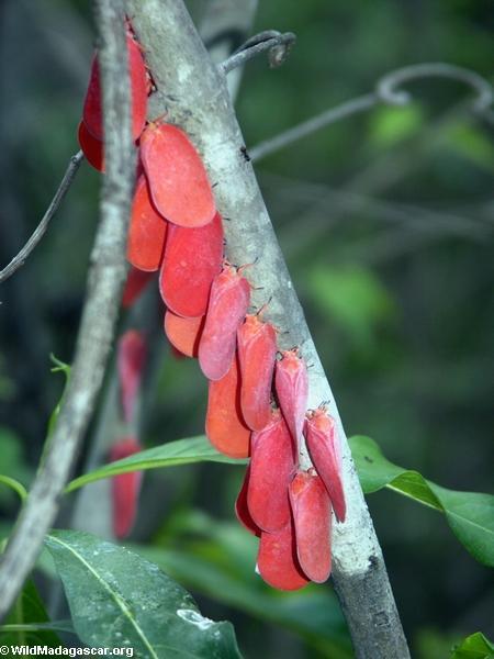 Adult Flatid leaf bugs (Phromnia rosea)(Isalo)