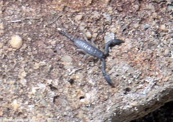 Scorpion in Isalo (Isalo)