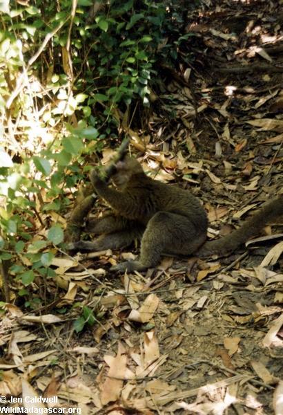 Greater Bamboo Lemur in Ranomafana (Ranomafana)