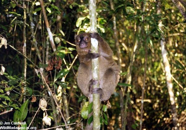 Hapalemur simus Lemur in Ranomafana (Ranomafana)
