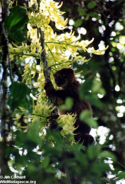 Red-bellied Lemur (Eulemur rubriventer) pollinating the nectar pods of the Vahimberona  (Ranomafana)