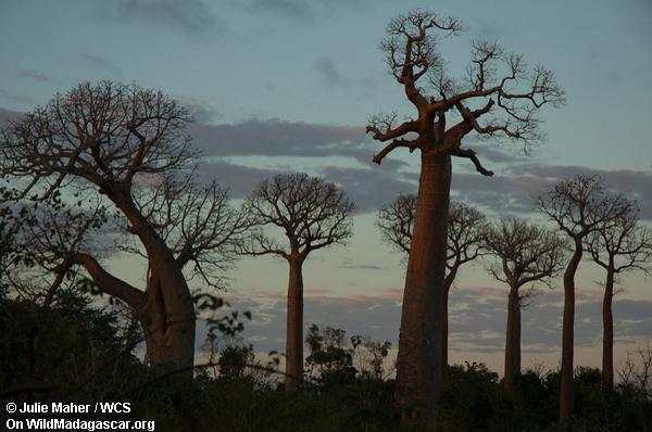 баобаб лес