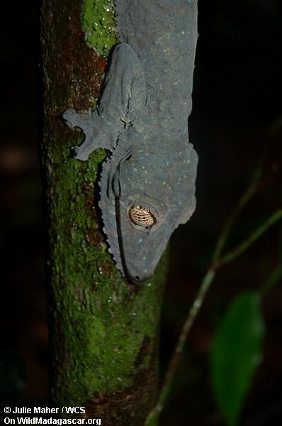 Uroplatus Gecko auf Baumstamm