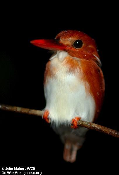 Madagaskar Pygmy kingfisher