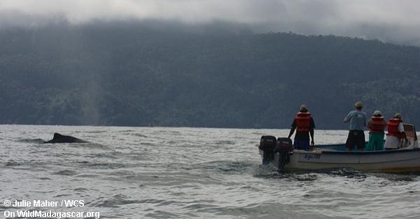 Buckelwale in der Bucht von Antongil
