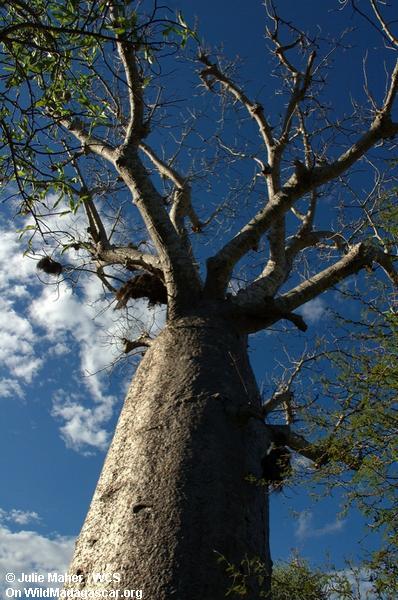 Andohahela Baobab