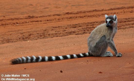 Ring-angebundenes lemur