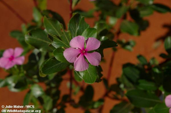 Rosiger Periwinkle