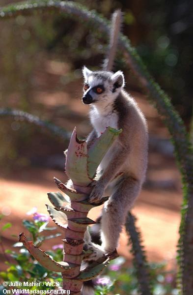 Ring-angebundenes lemur Einziehen
