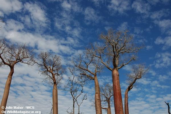 Straßenrand Baobabs