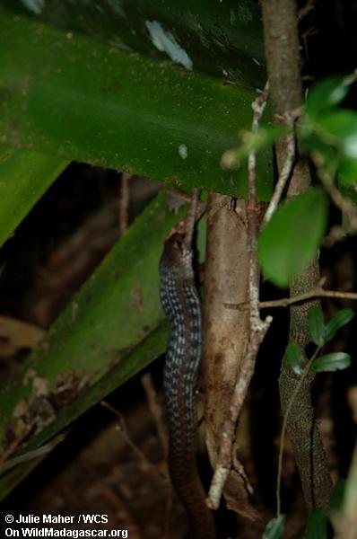 Schlange, die Frosch ißt