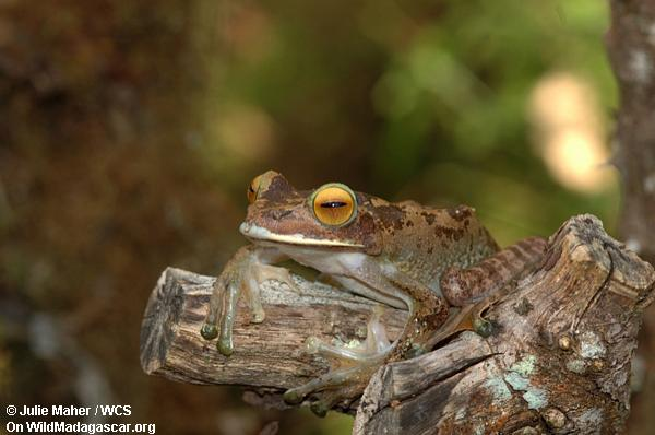 Boophis Frosch