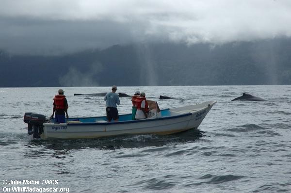 Wal-Aufpassen in die Bucht von Antongil