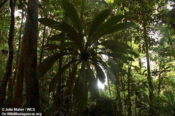 Madagaskar rainforest