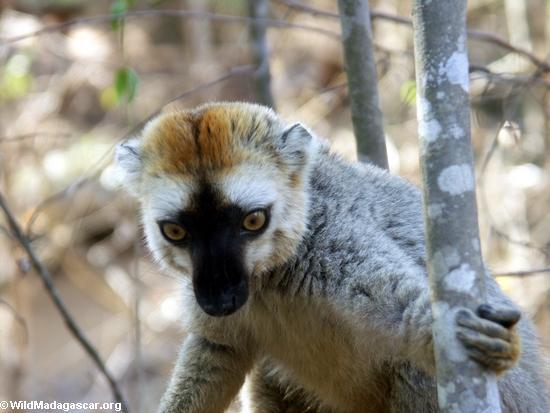 Eulemur  fulvus rufus lemur in tree(Kirindy)