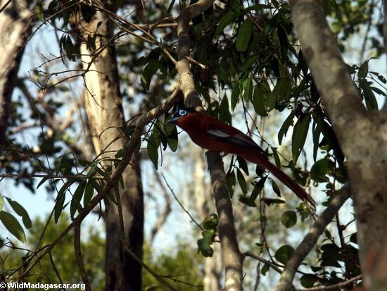 Madagascar Paradise Flycatcher (Kirindy)