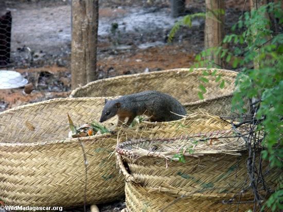 Mungotictis decemlineata mongoose raiding trash heap (Kirindy)