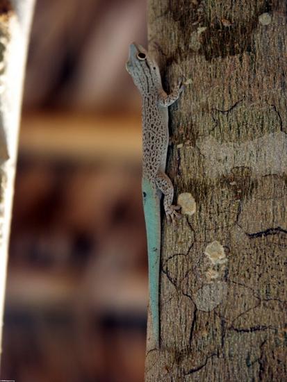 Phelsuma mutabilis gecko (Kirindy)