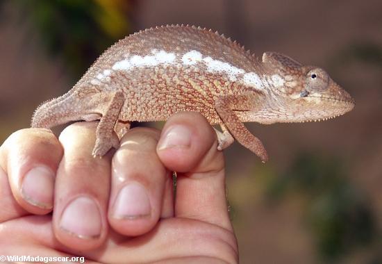 Baby oustaleti chameleon on hand (Kirindy)