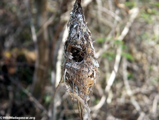 bird nest (Kirindy)
