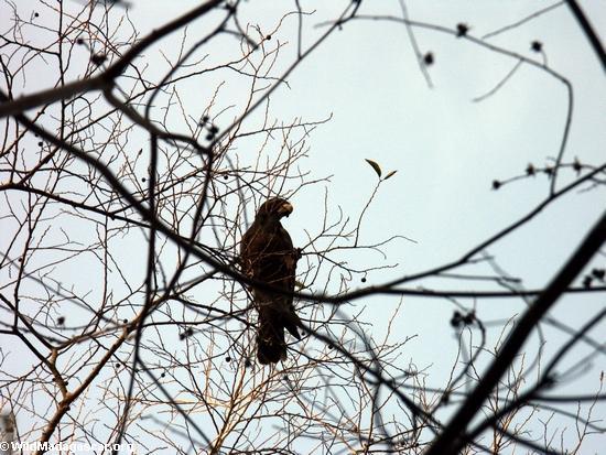 Caracopsis nigra parrot (Kirindy)