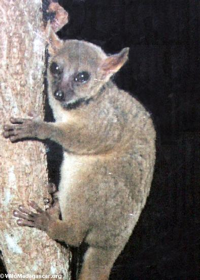 Mirza coquereli lemur(Kirindy)