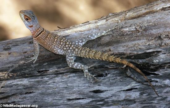 Oplurus cuvieri iguana (Kirindy)
