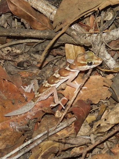 Paroedura picta gecko(Kirindy)