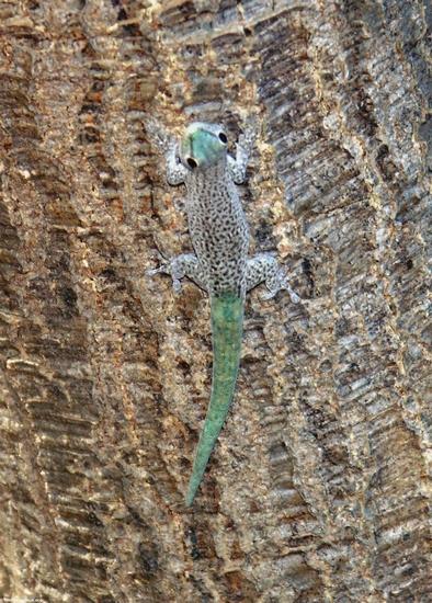 Phelsuma madagascariensis kochi gecko (Kirindy)