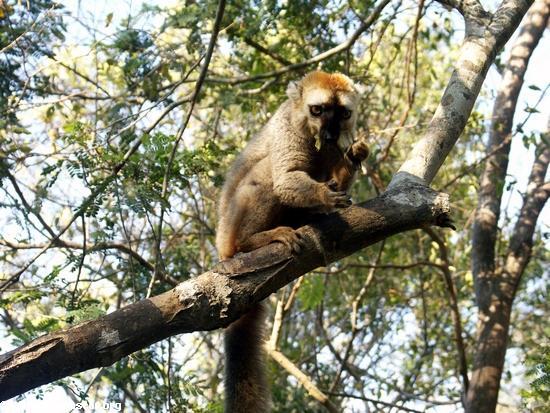 Eulemur fulvus rufus lemur in tree at Kirindy (Kirindy)