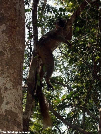 Red fronted brown lemur resting in tree (Kirindy)