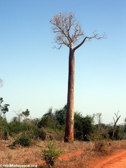 slender baobab (Kirindy)