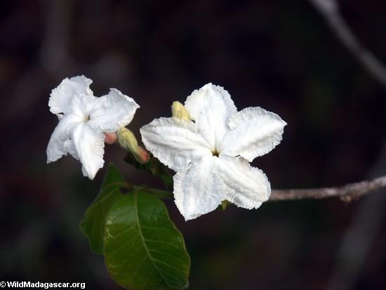 white flower (Kirindy)