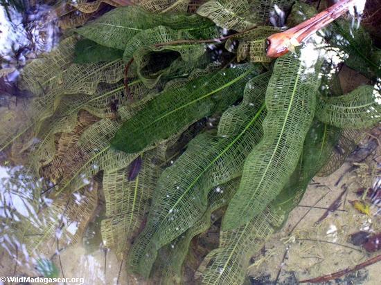 Aponogeton madagascariensis (Madagascar lace plant)(Flora)