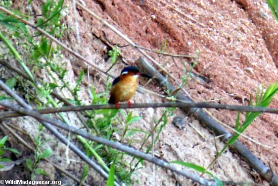 Malagasy Kingfisher  (Manambolo)