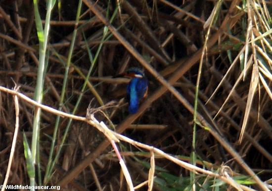 Малагасийский Зимородок