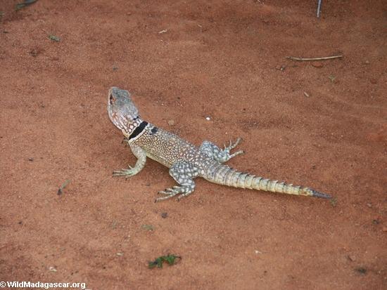 Oplurus cuvieri iguanid(Manambolo)
