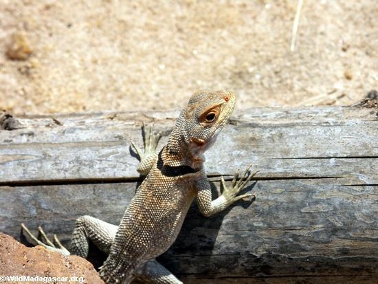 Oplurus cuvieri collared iguanid lizard(Manambolo)