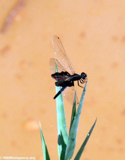 black dragonfly(Manambolo)