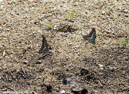 blue butterflies (Manambolo)