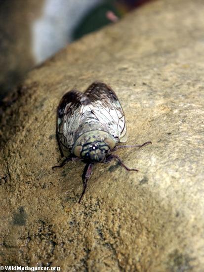 Cicada(Manambolo)