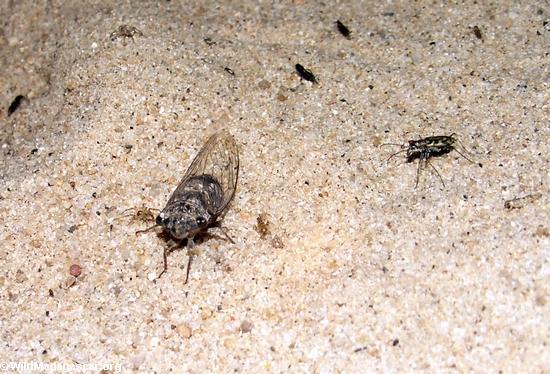 cicada in sand (Manambolo)